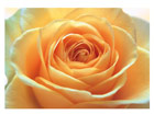 Fototapeet The orange rose 400x280 cm